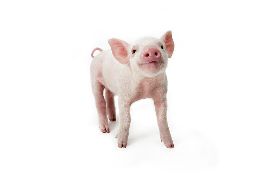 Pig Standing Looking Up, White Photograph by Digital Zoo