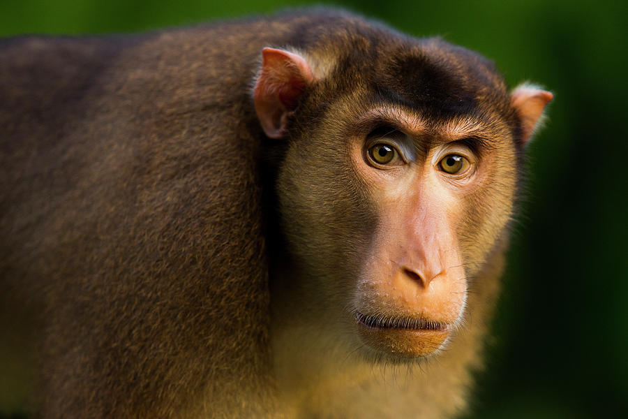 Pig-tailed Macaque Male Photograph by Sebastian Kennerknecht