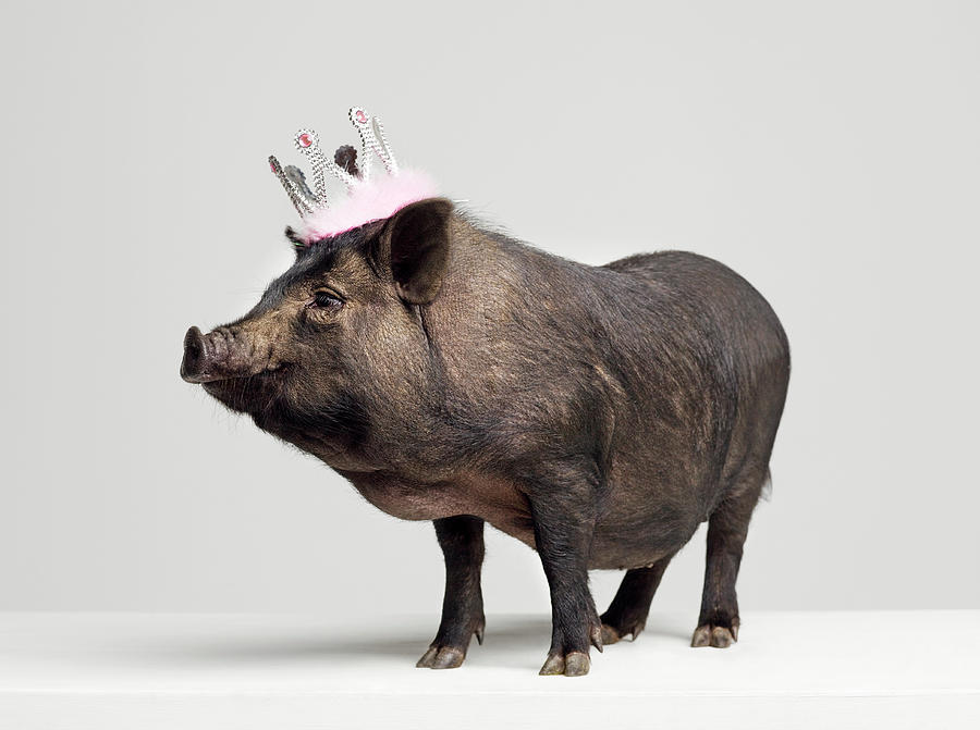Crown Photograph - Pig With Toy Crown On Head, Studio Shot by Roger Wright