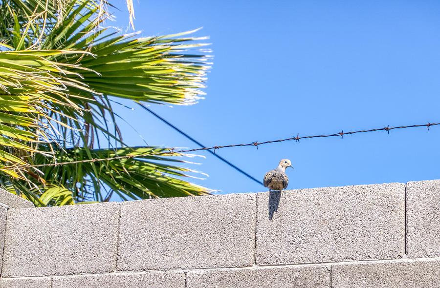 Pigeon  by Anthony Giammarino