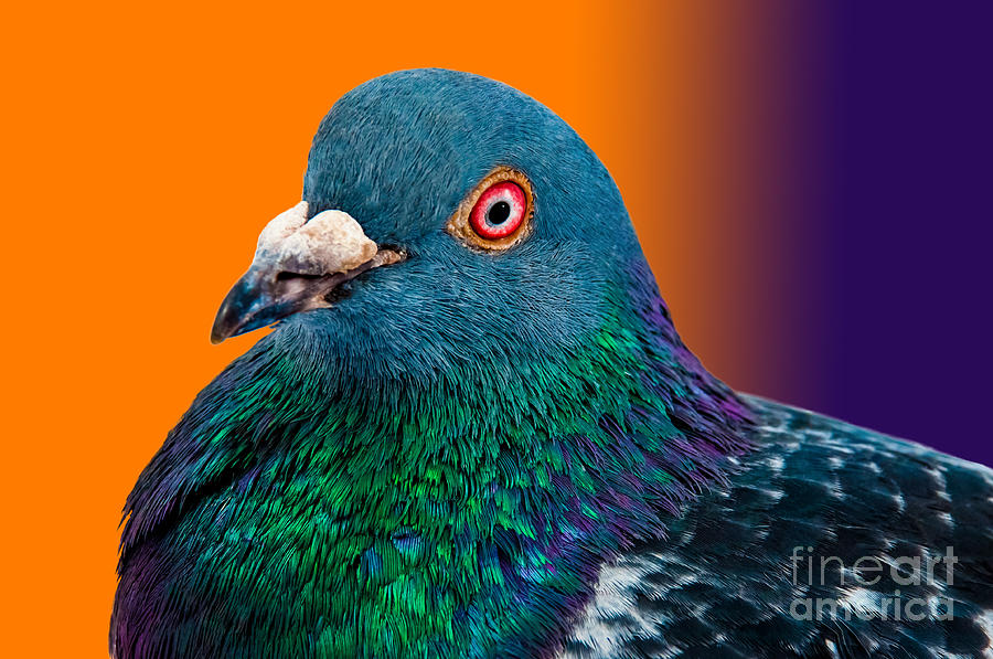Studio Photograph - Pigeon Close Up Portrait Isolated In by Altin Osmanaj