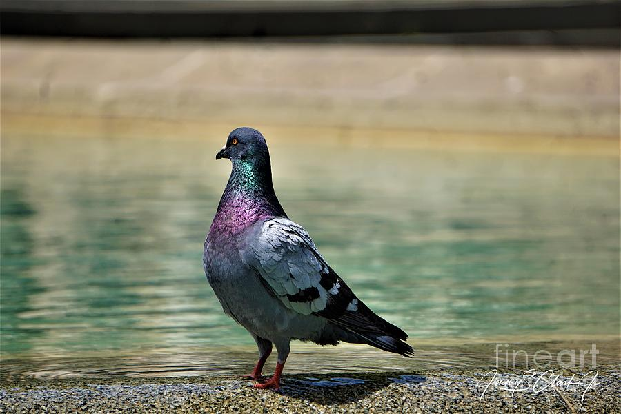 Pigeon by Jimmy Clark