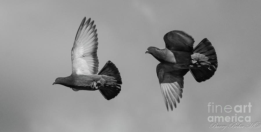 Pigeon pair BW by Barry Bohn