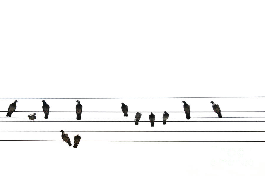 Pigeons Perched On Power Lines Photograph by Sergio Amiti