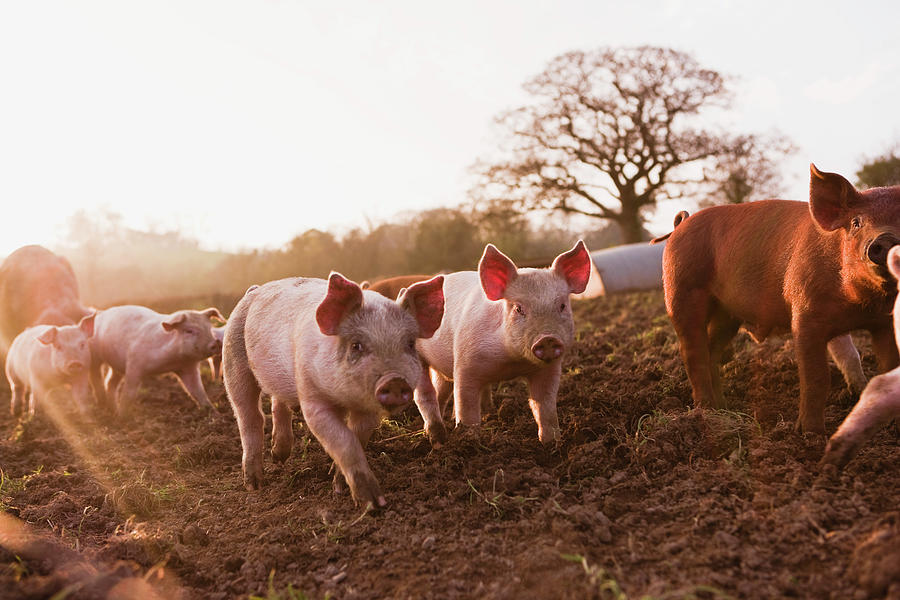 Piglets In Barnyard Photograph by Jupiterimages