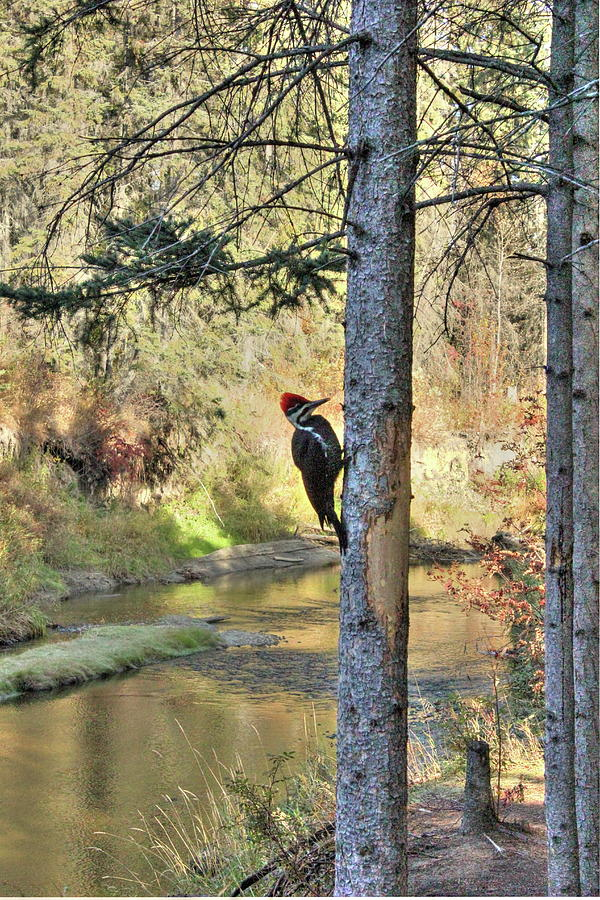 Pileated Woodpecker in Autumn by Jim Sauchyn