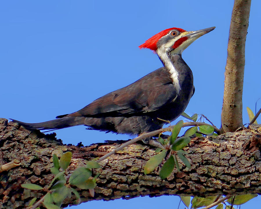 Pileated Woodpecker by Suzanne Stout