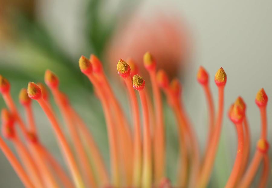 Pincushion Flower by Mariola Szeliga
