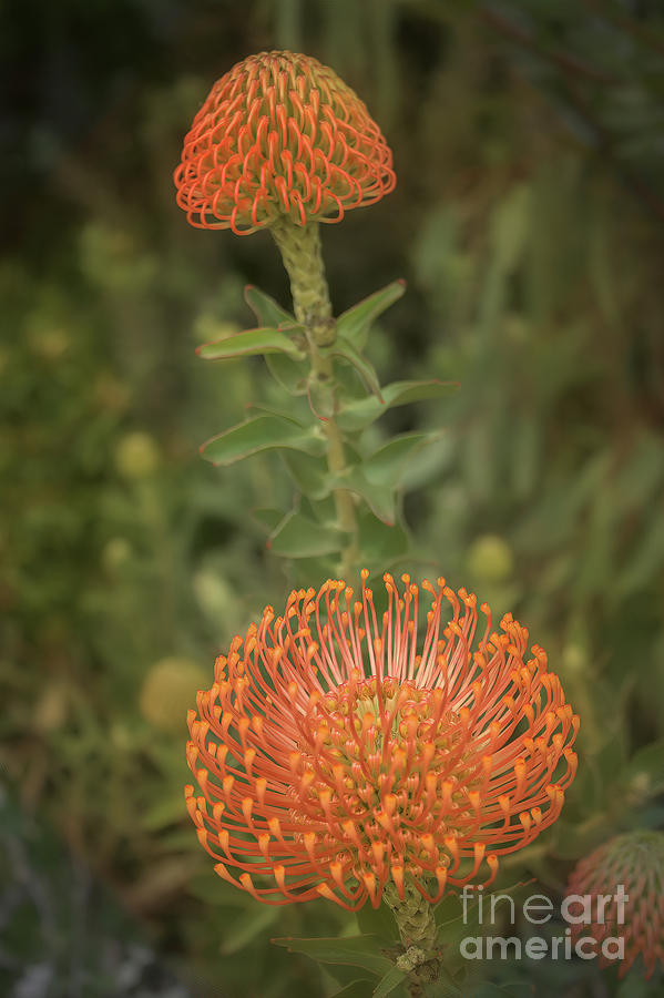 Pincushion Protea by Elaine Teague