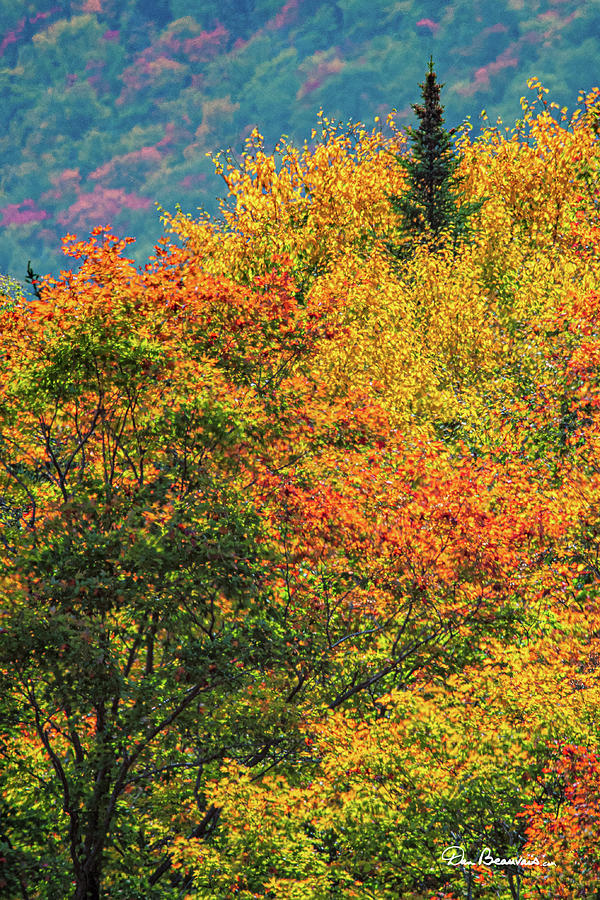 Pine Among the Color 8504 by Dan Beauvais
