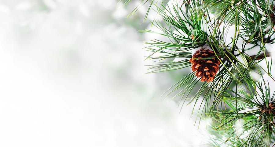 Pine Branch Under Snow Photograph By Jelena Jovanovic