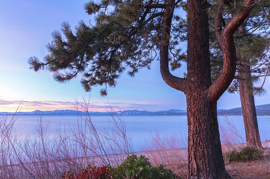 pine by lake tahoe by Jonathan Nguyen