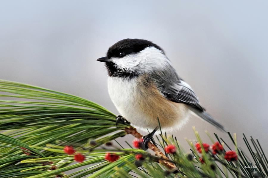Chickadee Photograph - Pine Chickadee by Christina Rollo