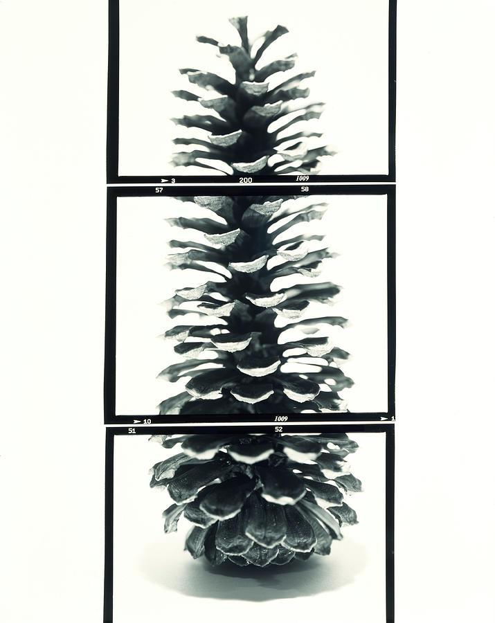 Pine Cone Framed By Three Film Photograph by Nicholas Eveleigh