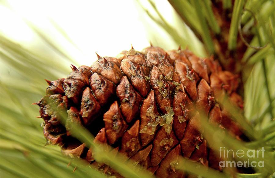 Pine Cone by Roland Stanke