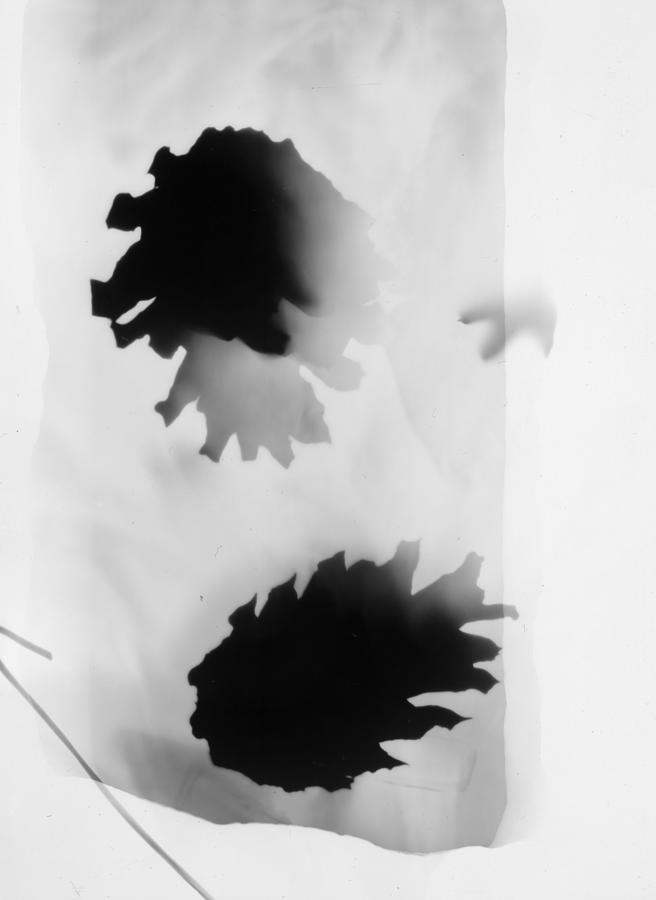 Abstract Photograph - Pine Cones Monochrome Photogram White Background  by Itsonlythemoon -