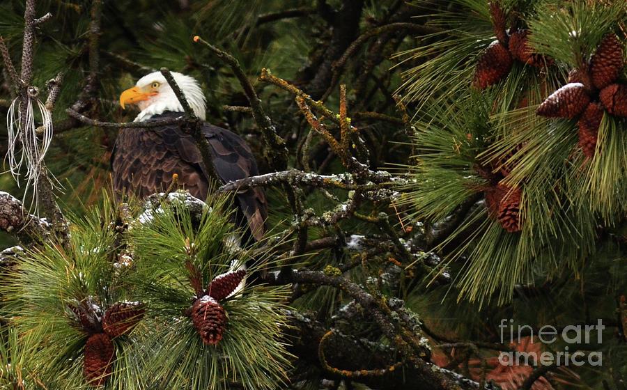 Pine Cones Needles Eagles Photograph