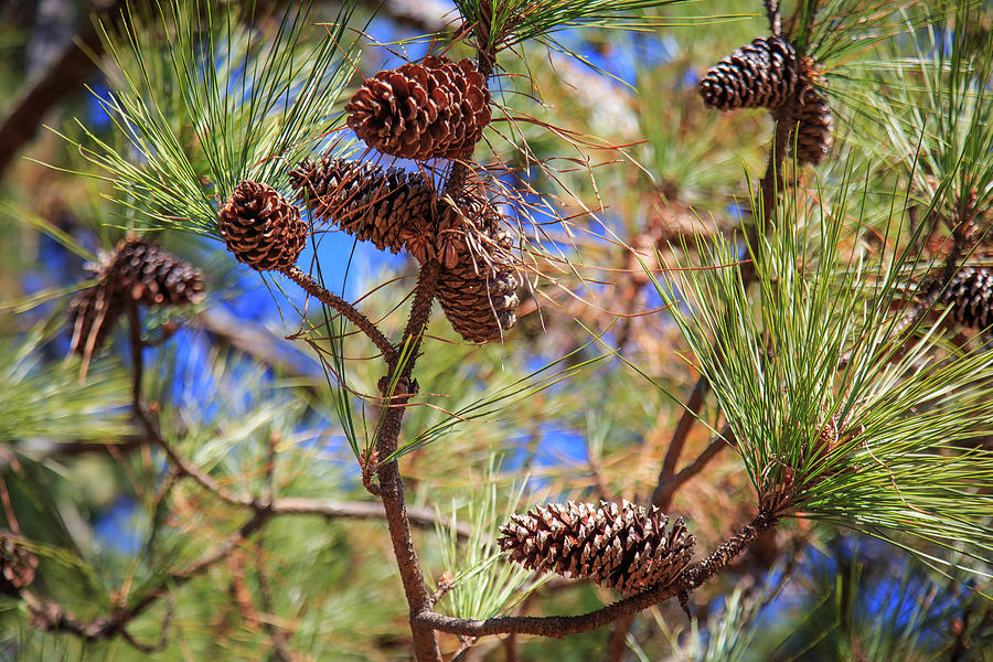 Pine Cones on a Tree Limb by Doug Camara