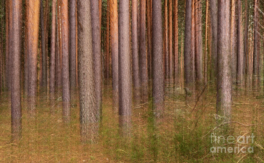 Forest Photograph - Pine Forest Ghost by Hernan Bua