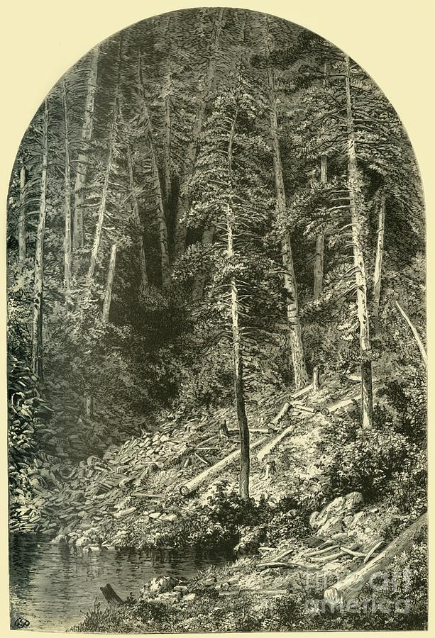 Pine Forest On West Branch Drawing by Print Collector