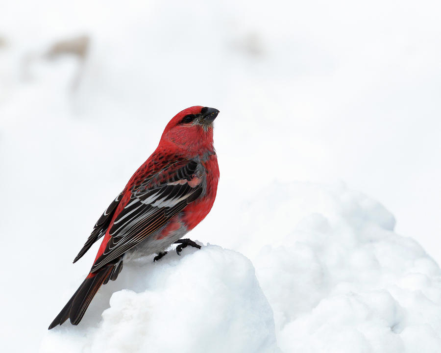 Pine Grosbeak in the Snow by Susan Rissi Tregoning