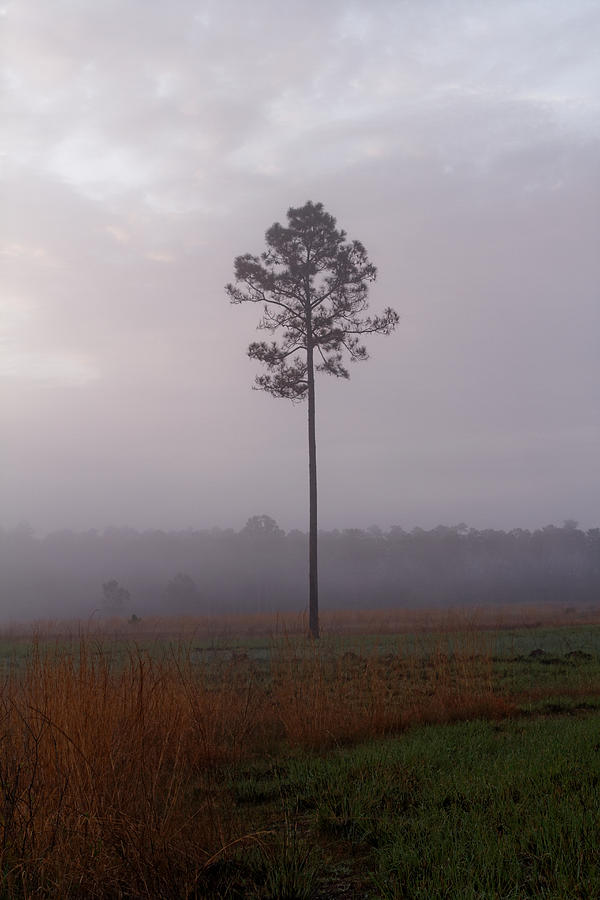 Pine In Morning Mist Photograph