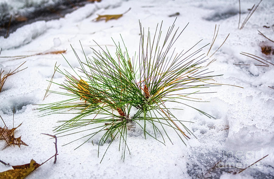 Pine Needles by James Foshee