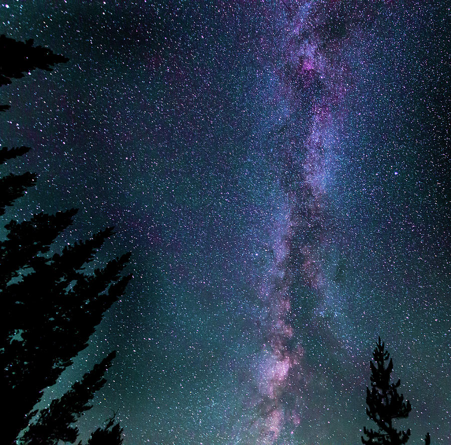 Pine Sentinels and the Milky Way by Philip Rispin