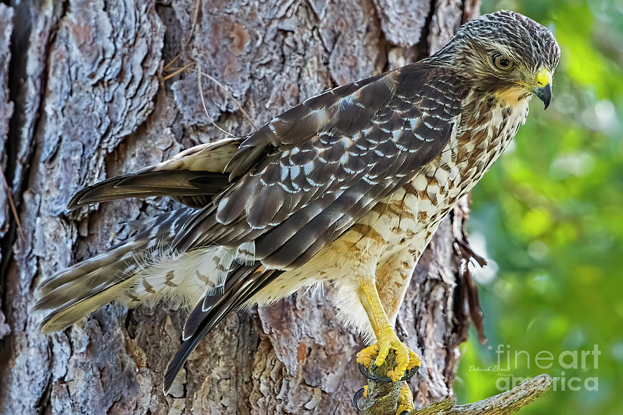 Pine Tree Hawk by Deborah Benoit