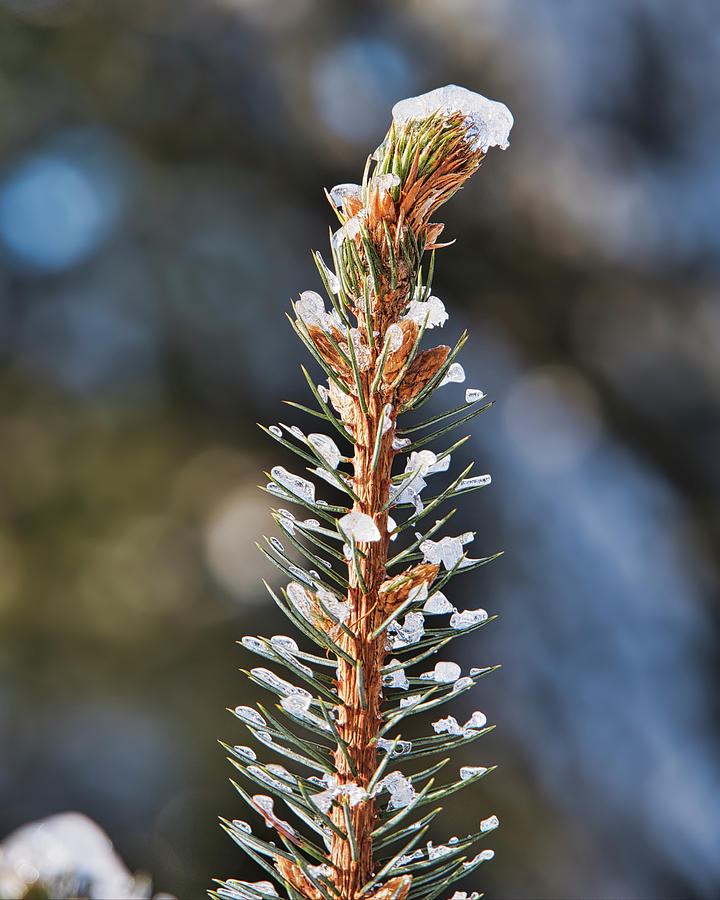 Pine tree tip II by Steven Ralser