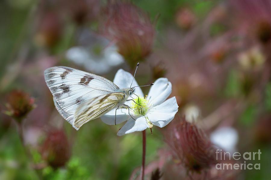 Pine White Butterfly by Susan Warren