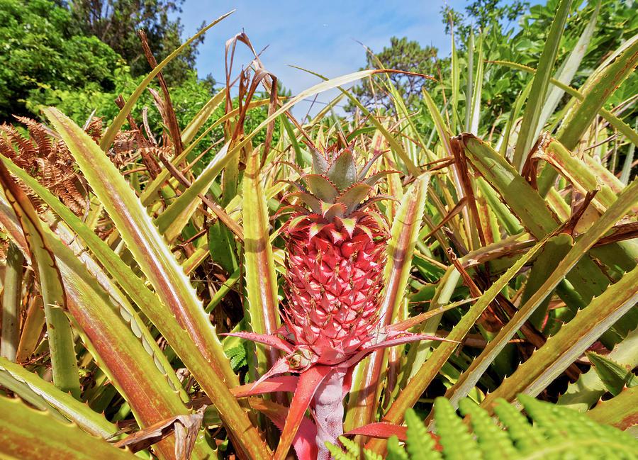 Pineapple Plant Ananas Pico Island Azores Portugal Photograph by imageBROKER - Karol Kozlowski