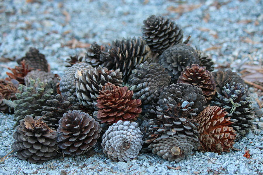 Pinecones  by Christy Pooschke
