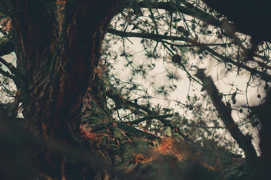 Pine Wind