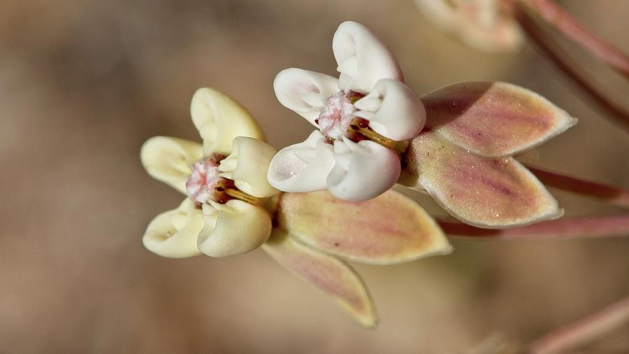 Pinewoods Milkweed Flowers by Paul Rebmann