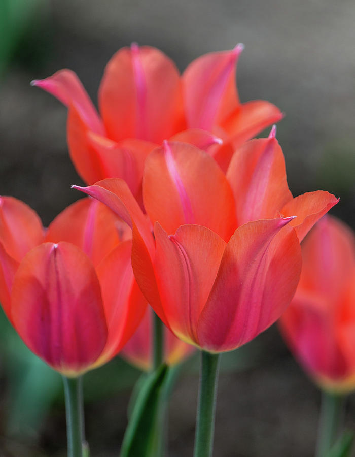 Pink and Orange Spring Tulips by TL Wilson Photography by Teresa Wilson