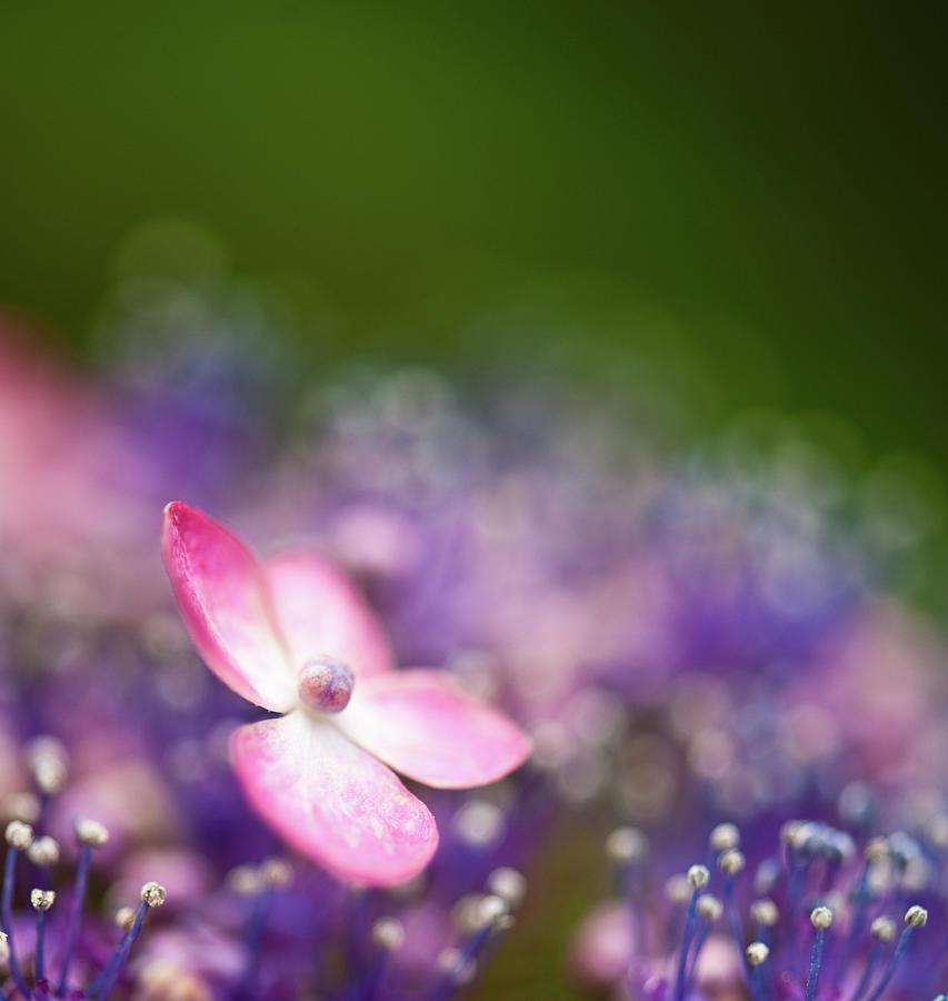 Pink And Purple Hydrangeas Photograph by Nazra Zahri