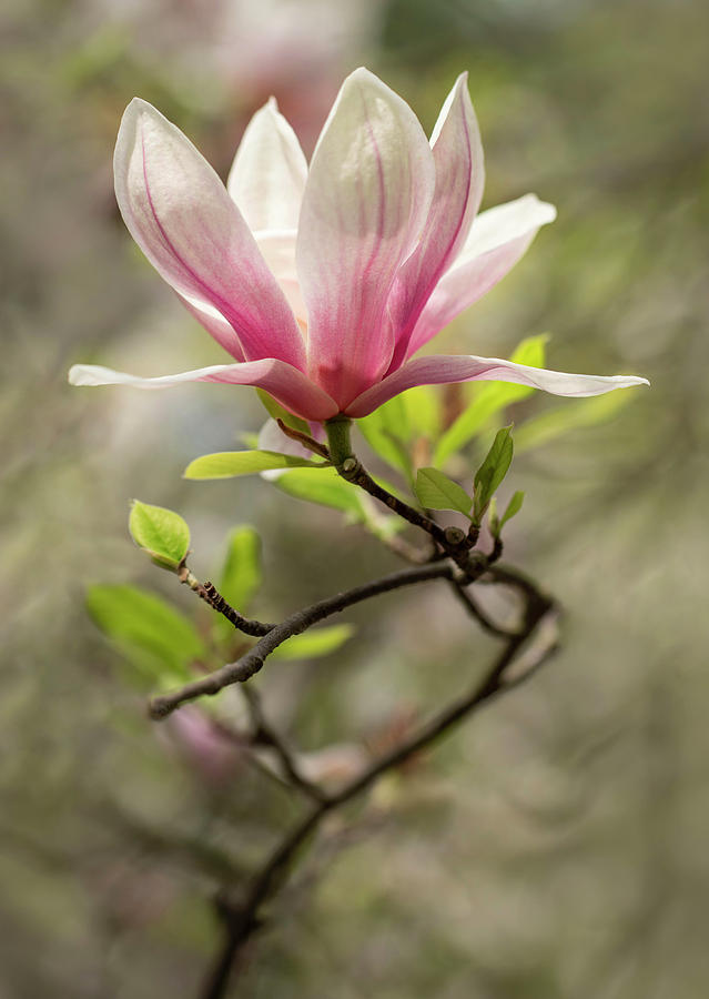 Pink and white blooming magnolia by Jaroslaw Blaminsky