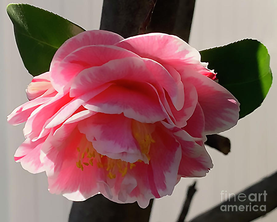 Pink And White Camellia Bloom by Kirt Tisdale