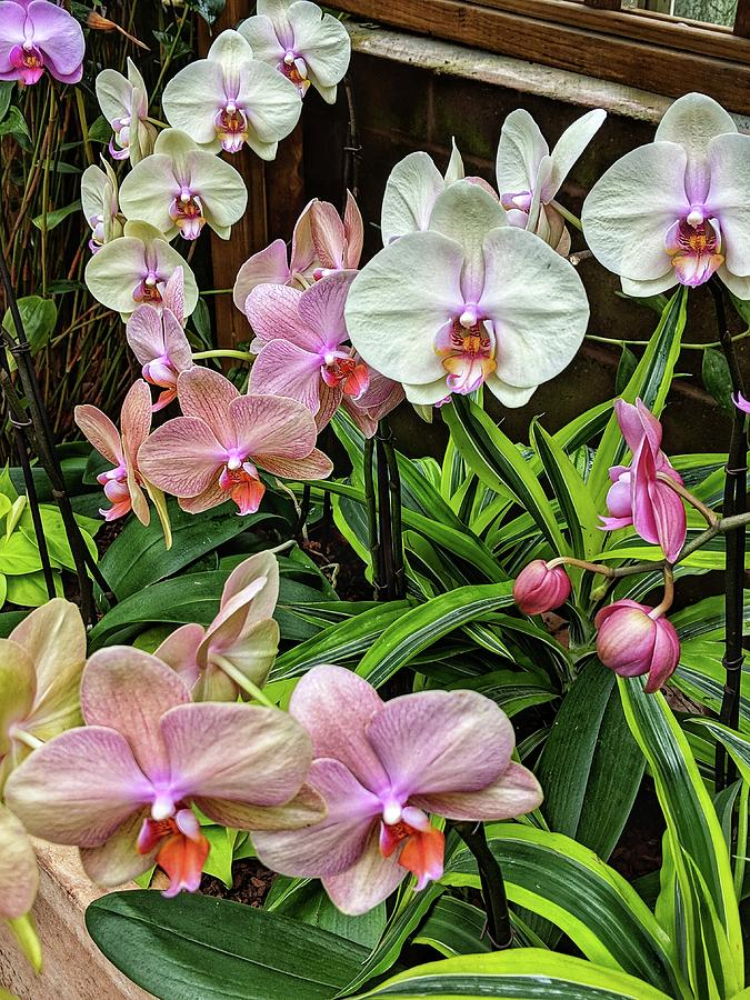 Pink and  White Orchids by Portia Olaughlin