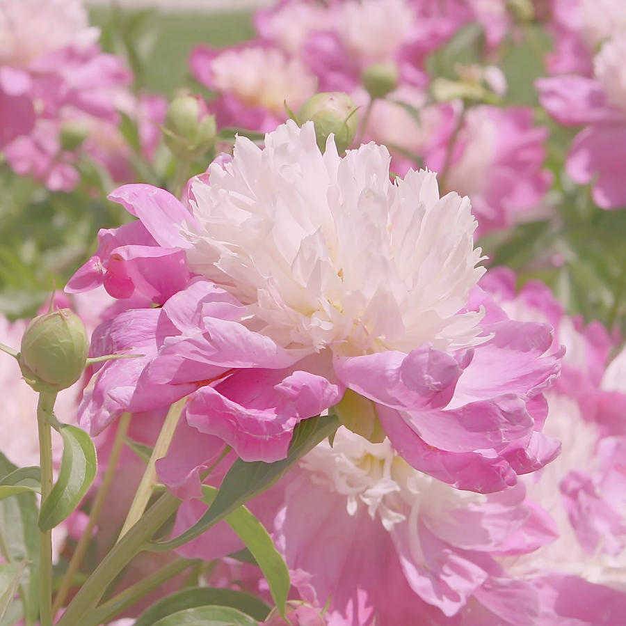 Pink And White Peony Flowers Photograph by Kim Hojnacki