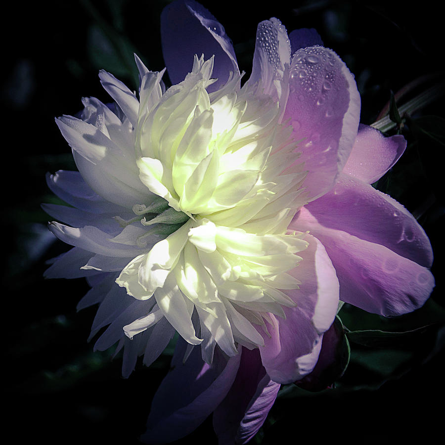 Pink and White Peony Petals and Drops  by Julie Palencia