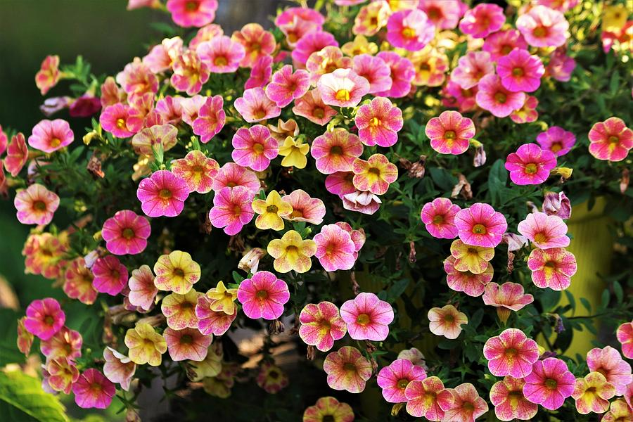 Pink and Yellow Mini Petunias by Sheila Brown