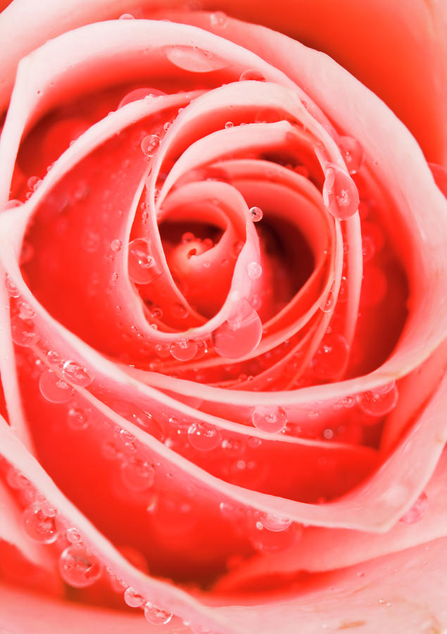 Pink Rose  by Anna Yanev