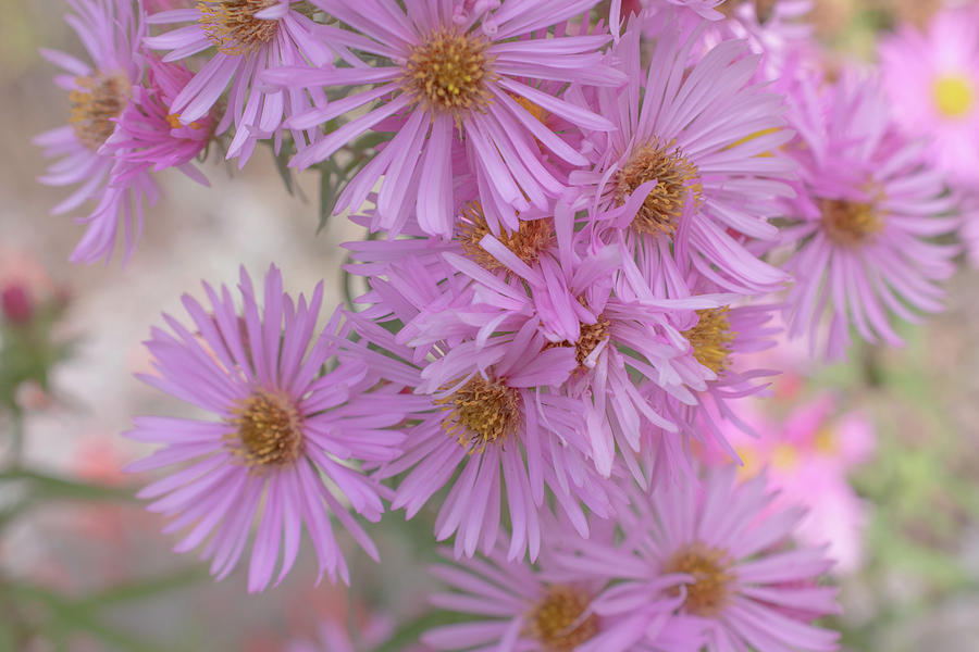 Pink Aster by Bonnie Bruno