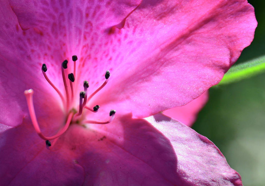 Pink Azalea in Full Bloom by Bruce Gourley
