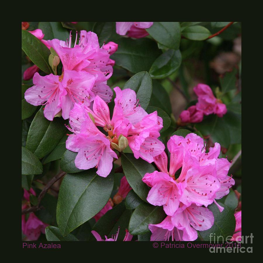 Pink Azalea by Patricia Overmoyer
