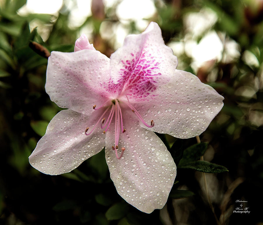 Pink Azalea with water droplets by Kevin Banker