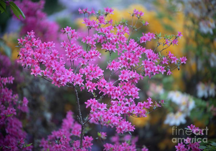 Pink Azaleas Garden Light by Mike Reid