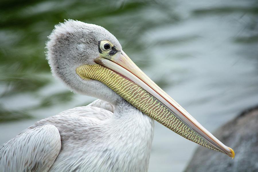 Pink Backed Pelican  by Jennifer Wick